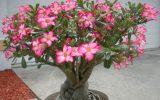 desert-rose-succulent-care