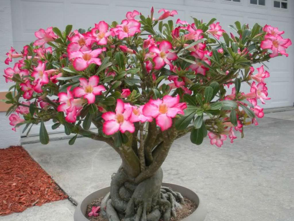 desert rose succulent care