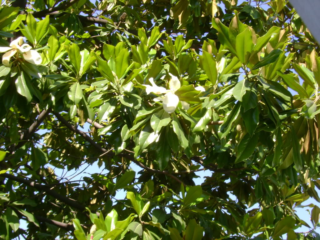 different kinds of magnolia trees