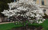 dwarf-star-magnolia
