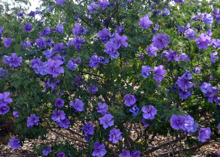 evergreen hibiscus varieties