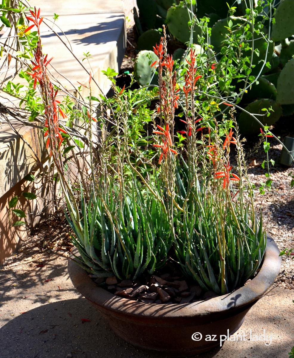 fertilizer for succulents