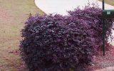flowering-shrubs-for-zone-9