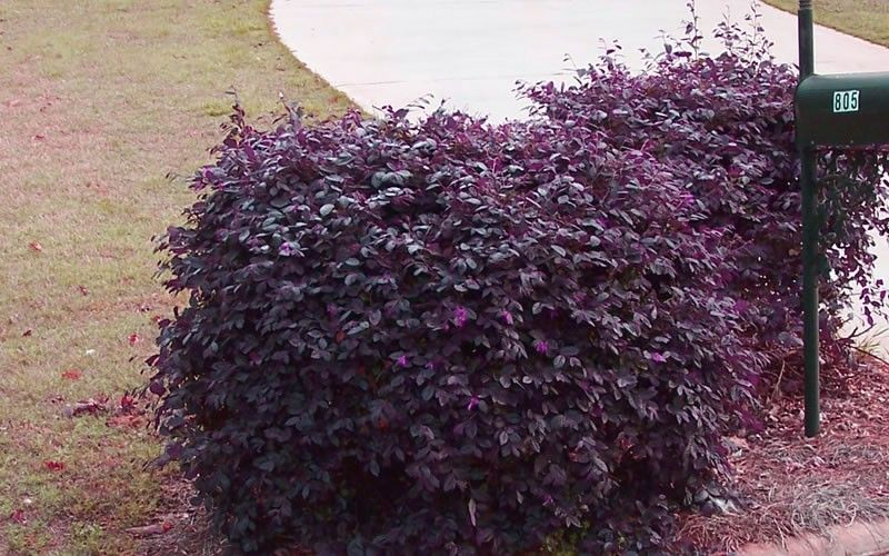 flowering shrubs for zone 9