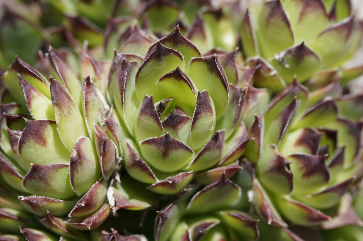 flowering succulents images
