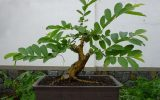 fruiting-bonsai
