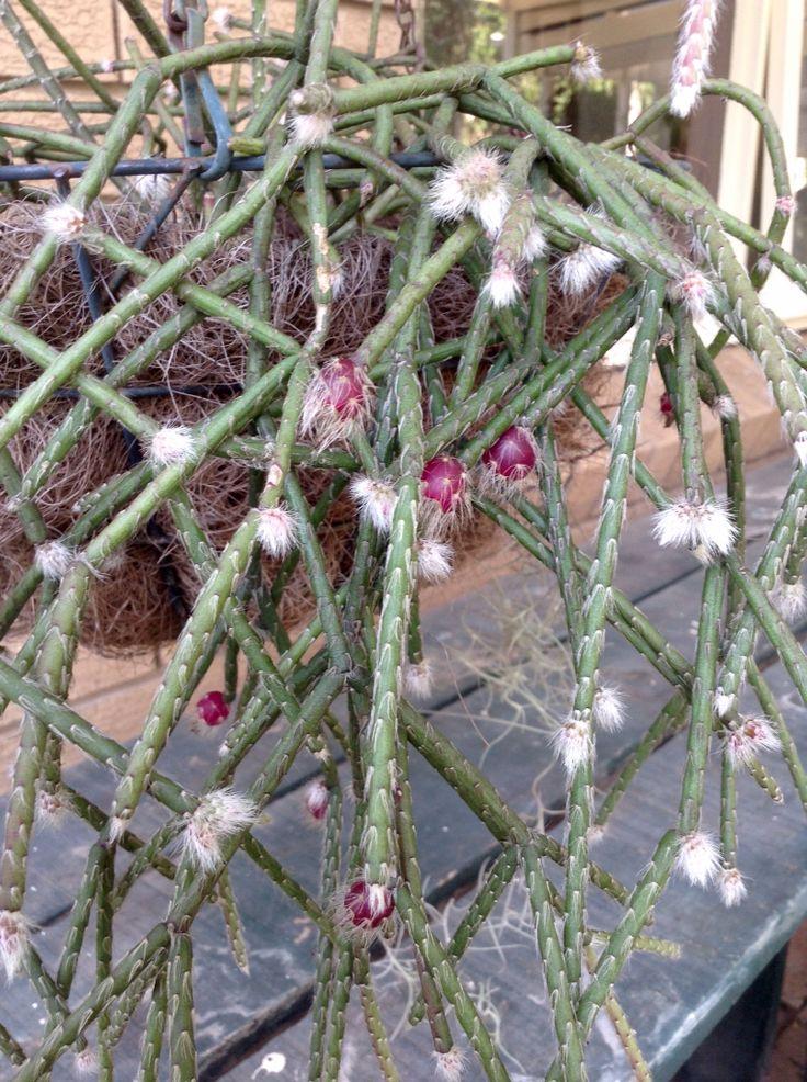 hanging succulents plants