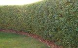 hedge-plants