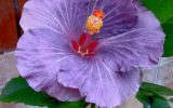 hibiscus-flower-practical
