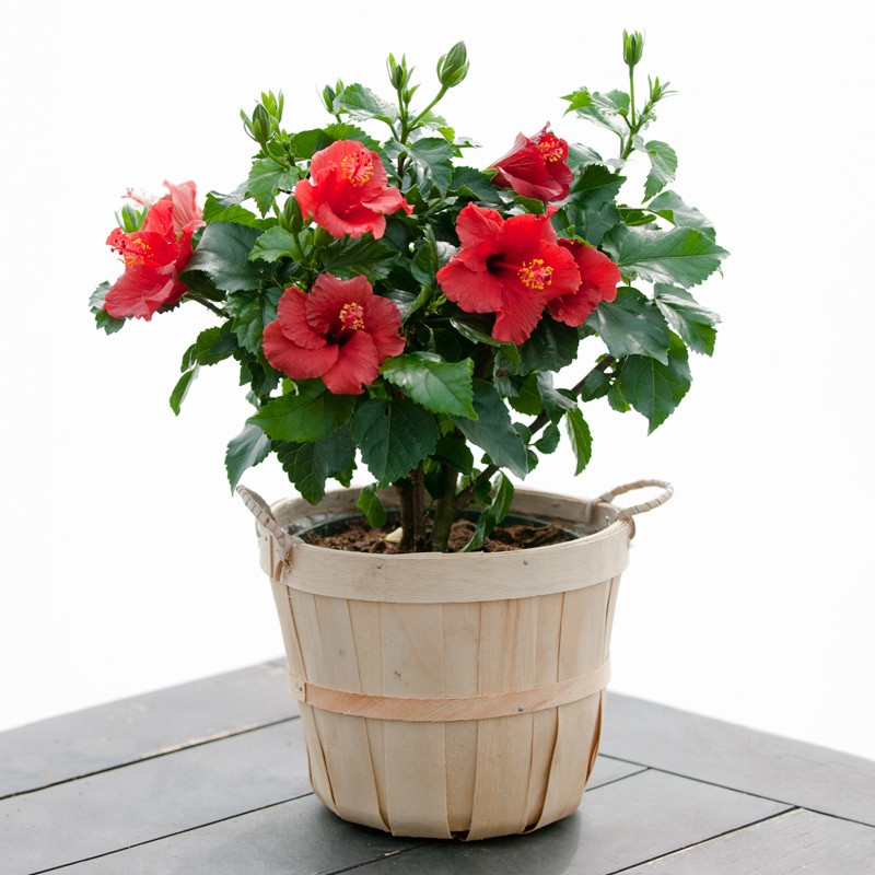 hibiscus flowers information