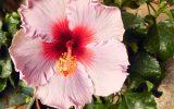 hibiscus-information