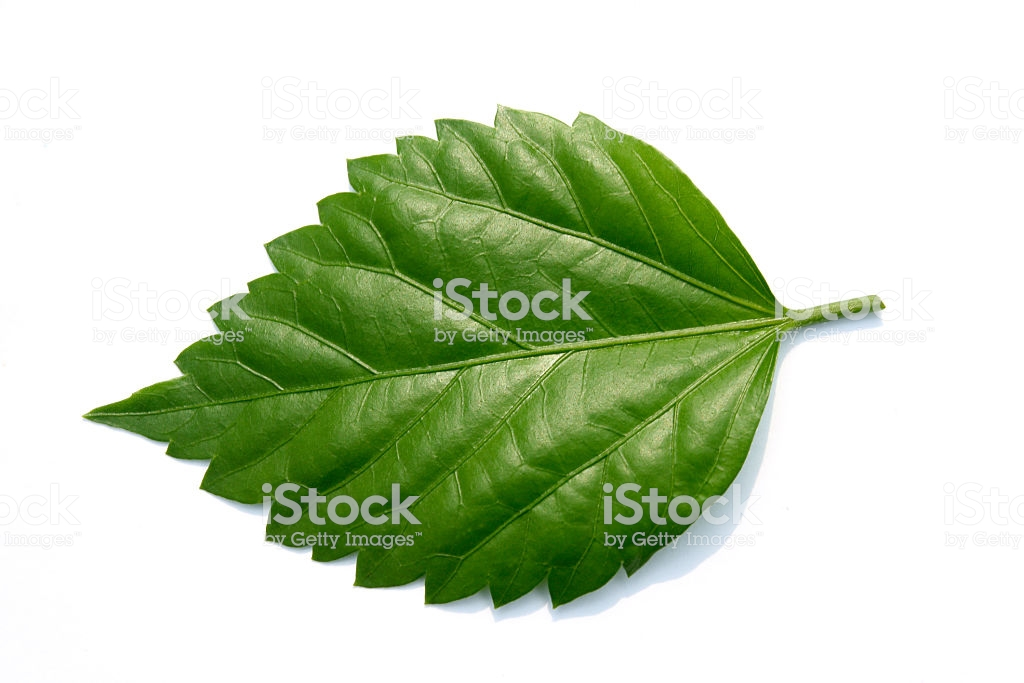 hibiscus leaves images