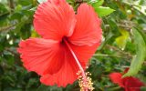 hibiscus-plant-picture
