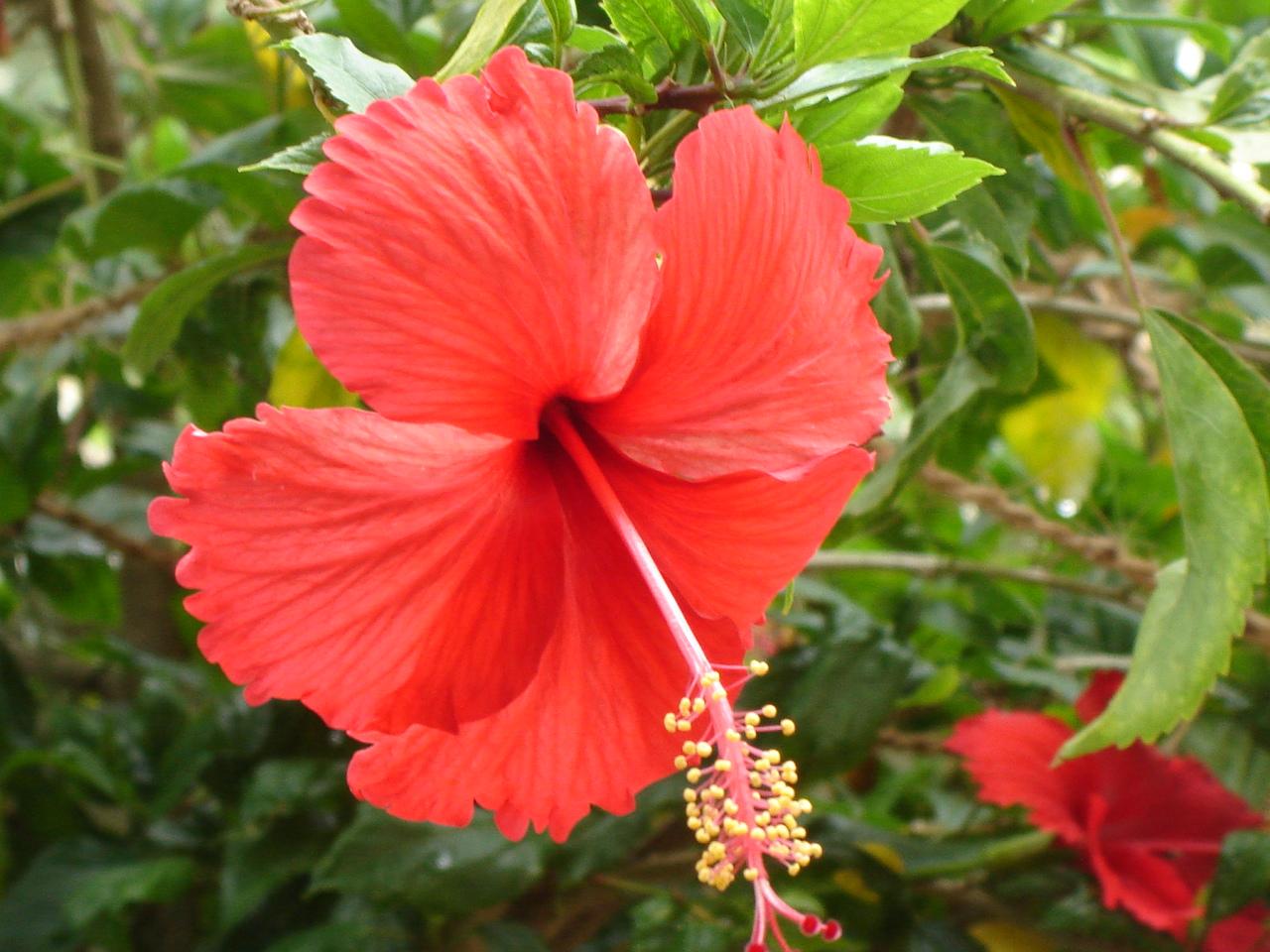 hibiscus plant picture
