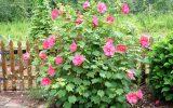 hibiscus-shrub