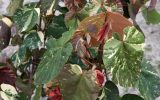 hibiscus-tree-leaves