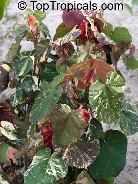 hibiscus tree leaves