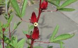 hibiscus-with-leaves