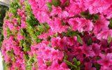 how-to-prune-azaleas