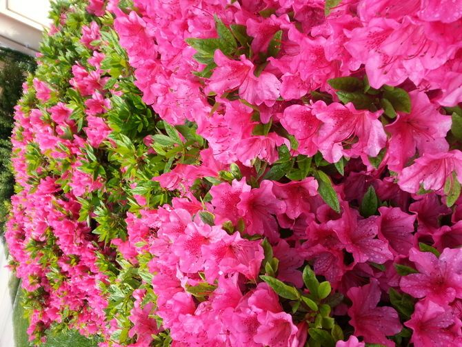 how to prune azaleas