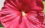 hybiscus-plant