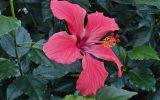 image-of-hibiscus-plant