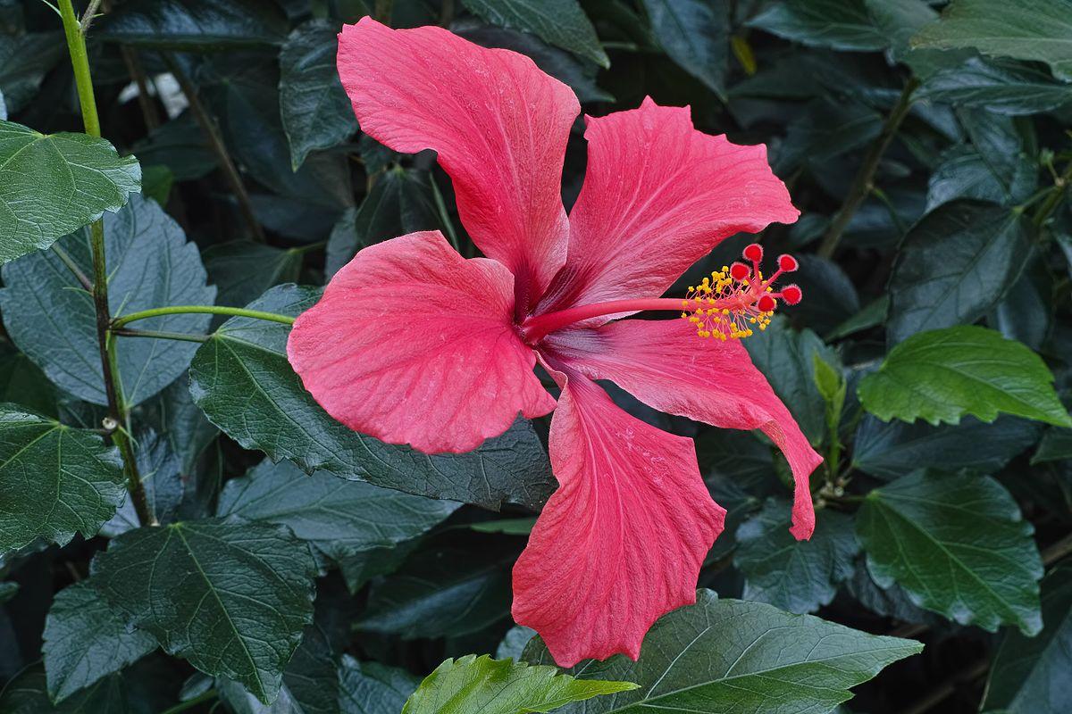 image of hibiscus plant
