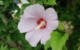 images-of-hibiscus-leaves