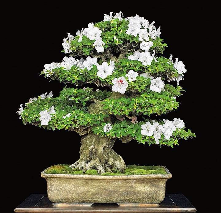 indoor azalea bonsai