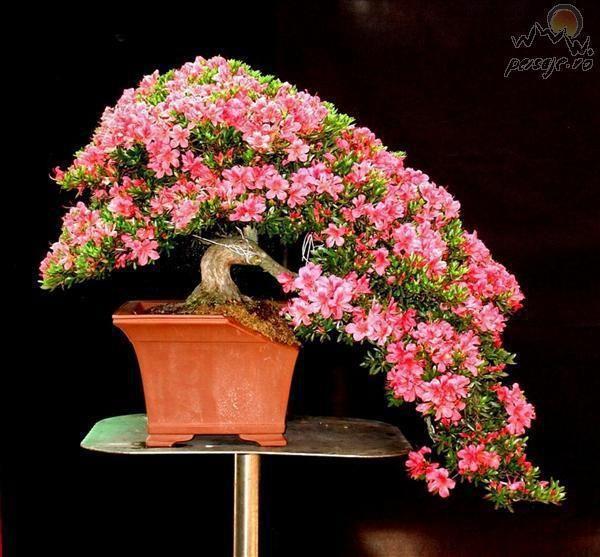 indoor azalea tree