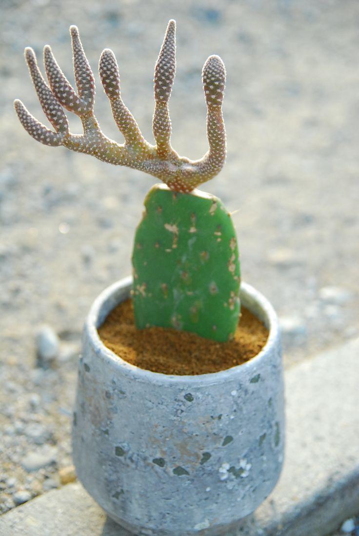 is a succulent a cactus