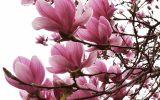 jane-japanese-magnolia