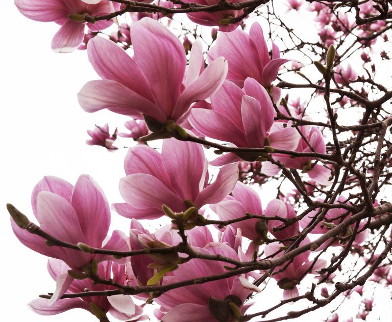 jane japanese magnolia