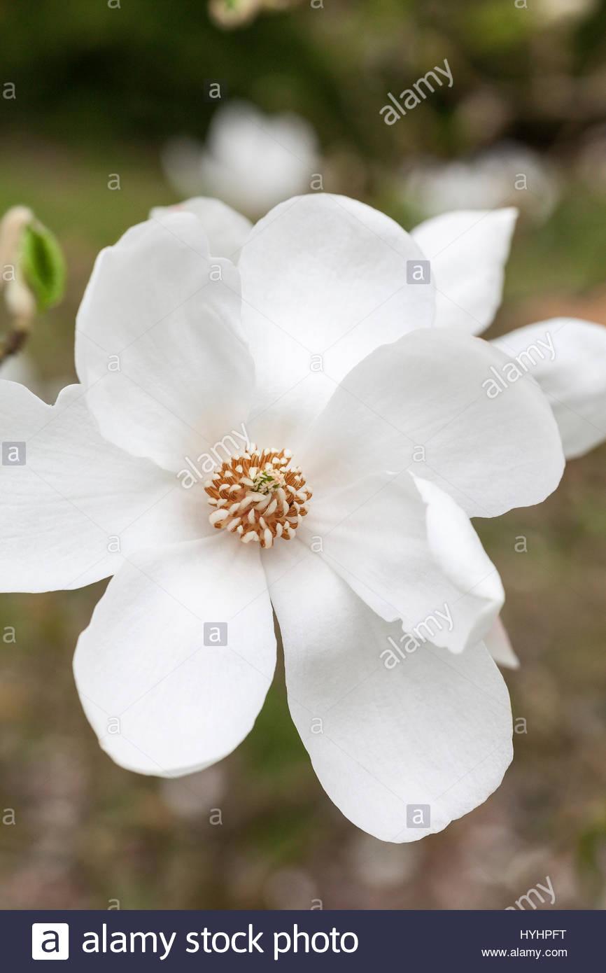 japaneese magnolia