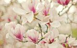 japanese-magnolia-bush