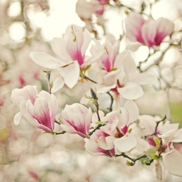 japanese magnolia bush
