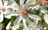 japanese-magnolia-leaf