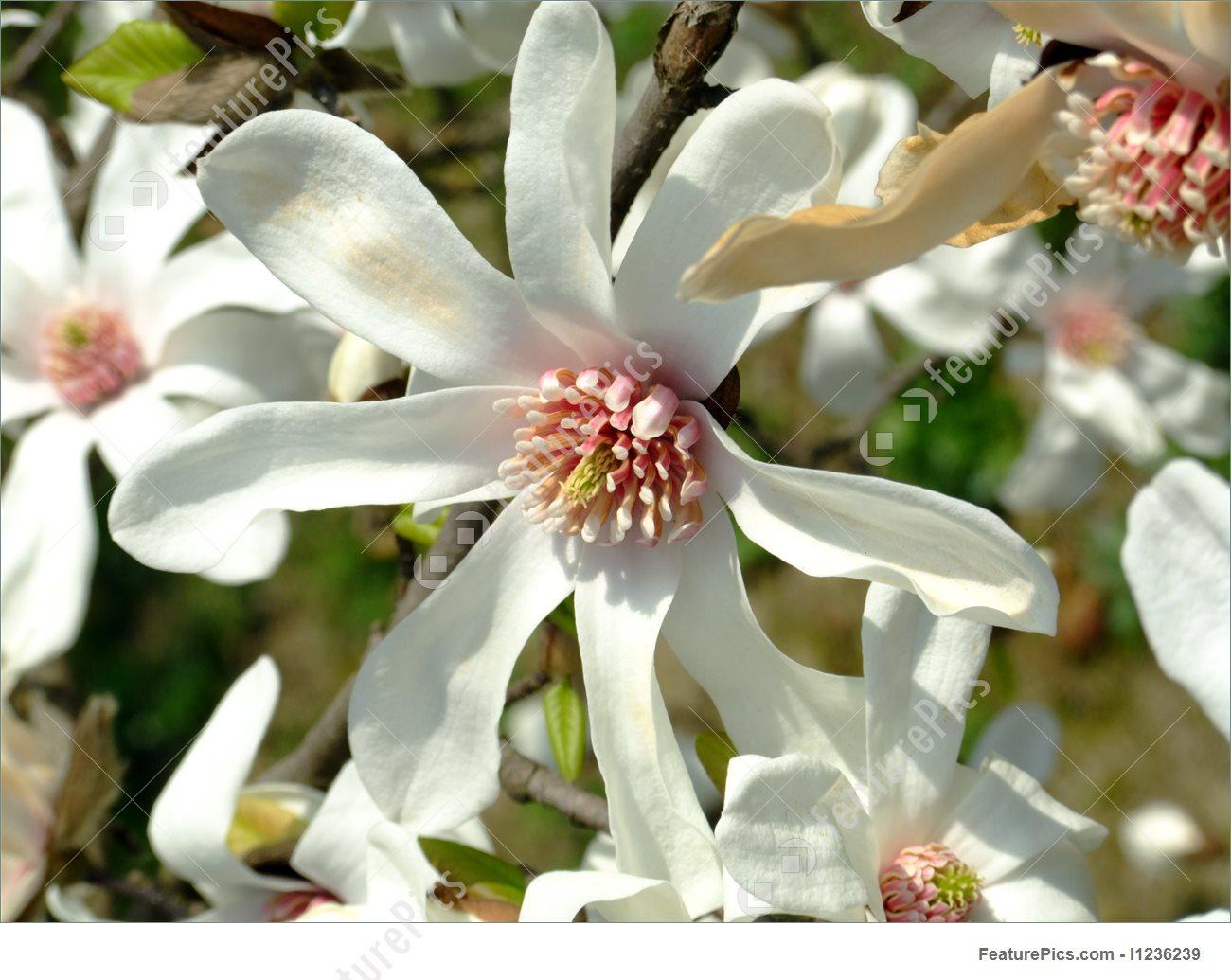 japanese magnolia leaf