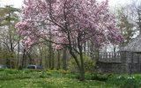 japanese-magnolia-varieties