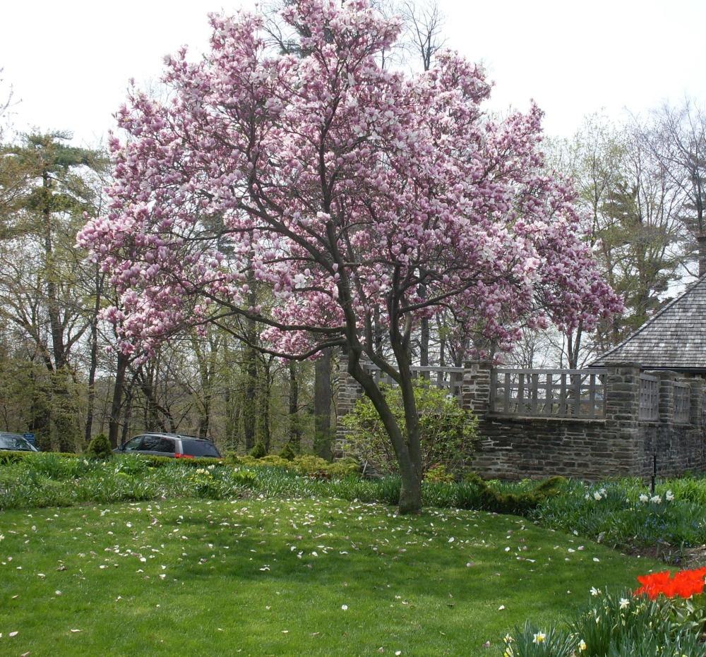 japanese magnolia varieties