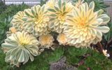 large-succulents