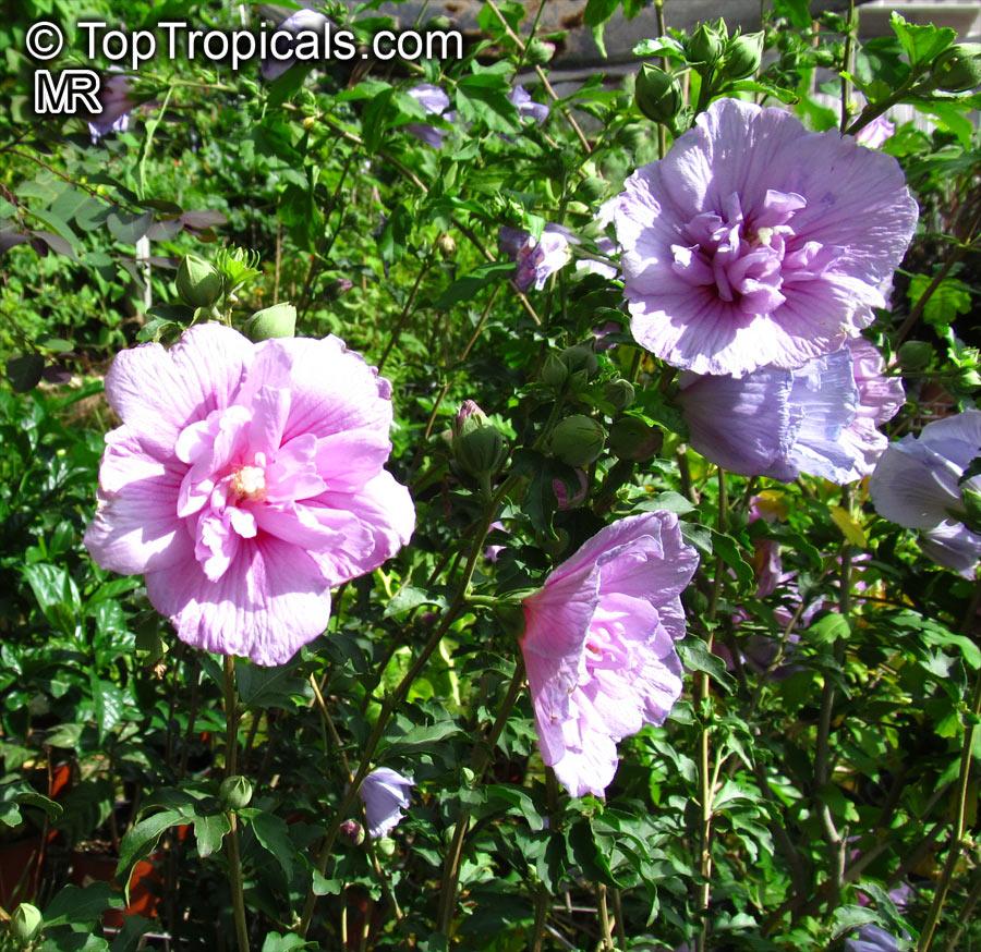 lilac hibiscus