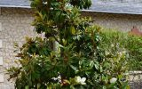 magnolia-alta