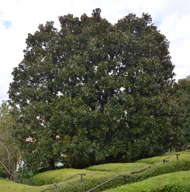 magnolia grandiflora little gem tree