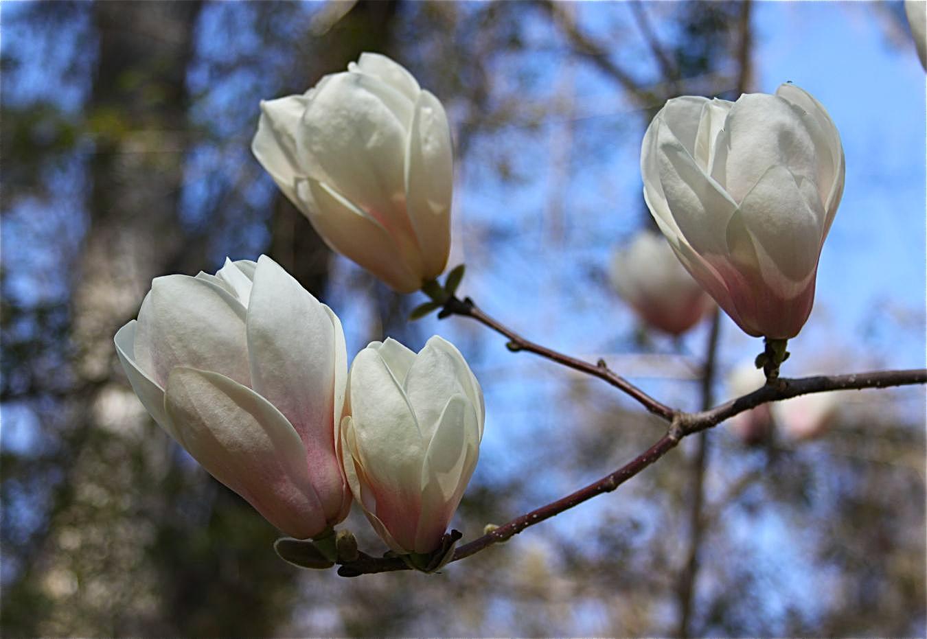 magnolia japanese