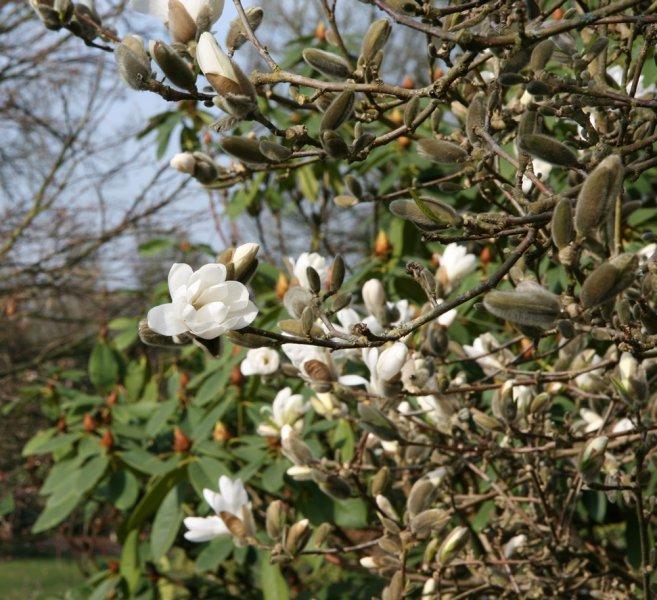magnolia stellata leaves