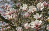 magnolia-tree-flowers-pictures