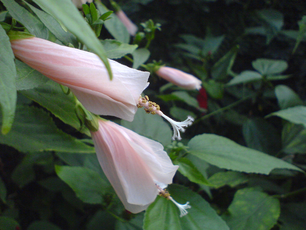 mexican hibiscus plant
