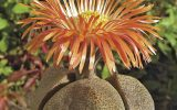 mimicry-plants