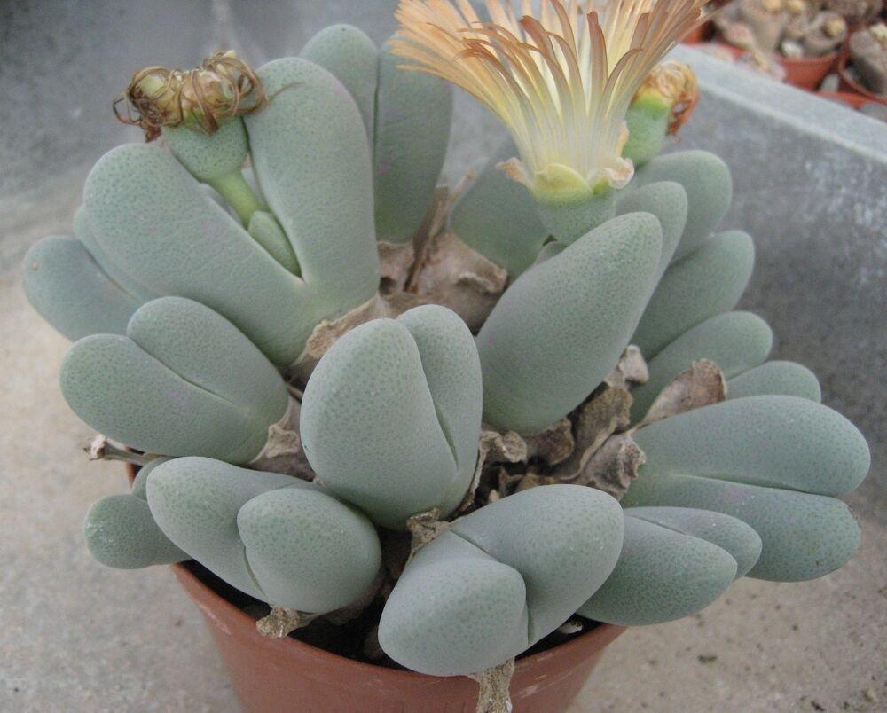 mimicry succulent